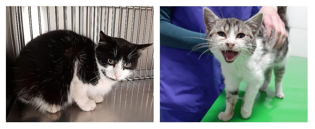 Ilustracja do informacji: Szukamy domu dla dwóch pięknych kotów